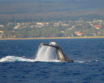 Humpback whale season on Maui is from November to April.