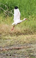 Egret in Mandalay