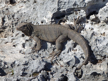 An iguana on Iguana Island