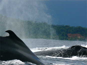 Humpback whales on the Pacific coast of Colombia. photo by Max Hartshorne.
