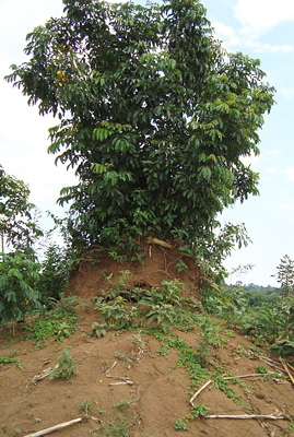 A termite mound near the house