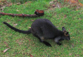 A wallaby enjoying the grass in front of the hostel