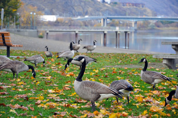 Canada geese forage among the autumn leaves in Riverside Park in Kamloops. Photo by Robin Schroffel.