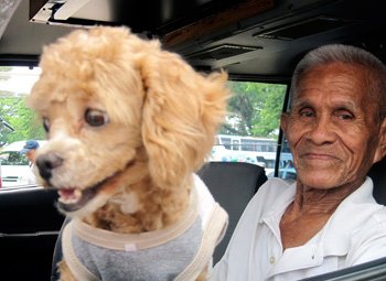 This lucky little dog in a t-shirt has a happy home working with his taxi driver master.