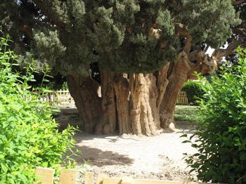 Abarkooh's Cypress Tree
