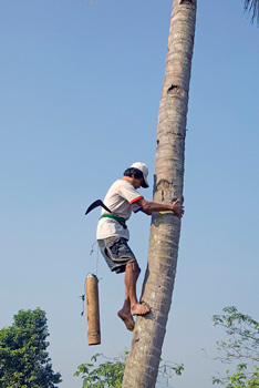 Collecting palm syrup at Borobudur