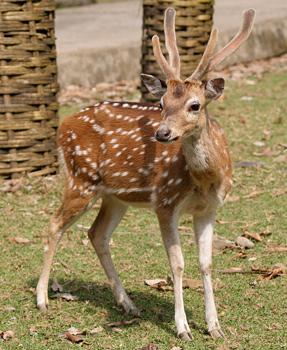 A Deer at Ross Island