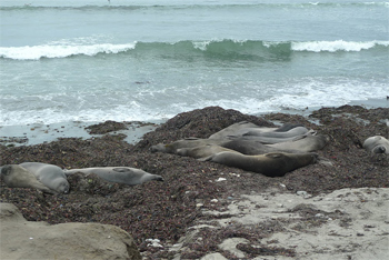 Seals at Ano Nuevo State Park.