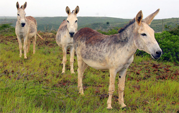 Wild donkeys in Arikok Park, Aruba.