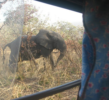 Elephants out the van's window as the author was leaving the park.