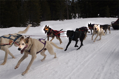 Dogsledding at Mt Bachelor with a team led by an Iditterod veteran dog.