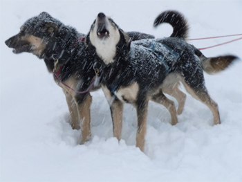 Alaskan sled dogs in Fairbanks, Alaska. photos by Andrew Dier.