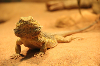 Bearded monster, famous reptile of the Outback.