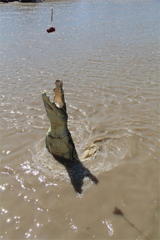 Feeding Saltwater crocodiles.