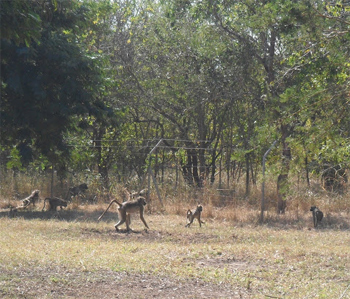 Baboons inside Gorongosa Park, in Mozambique. photos by Rebeccah Fleming.