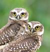 Owls in Brazil