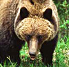A grizzly bear in Canada