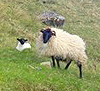 A ewe and a lamb in Ireland