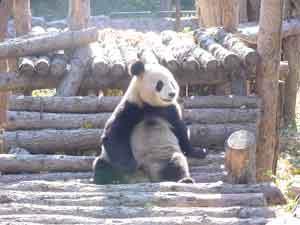 A panda at the Beijing Zoo