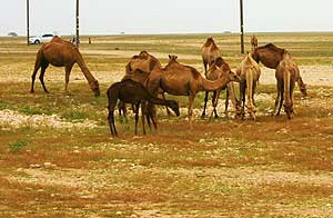 Camels by the roadside