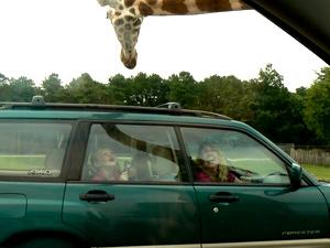 Giraffes love to lick cars as they drive through the Wild Safari at Six Flags, Jackson, NJ.