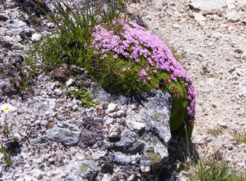 Despite the short, dry season and severe altitude, wildflowers brazenly burst forth all around.