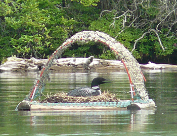 These artificial nests protect the loon's eggs from land predators.