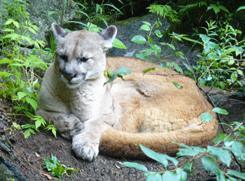A mountain lion at the Squam Lakes Natural Science Center