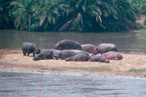 Hippos lie in the sun along the Zaire River. Photo by Jonathan Proud
