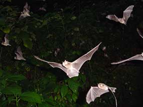 Bats of many different stripes flying out of the cave in Trinidad. photos by Mei Mei Thail