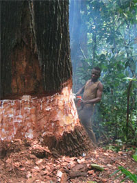 Logger working in the Congo basin fells a tree. photos by Witt Sparks.