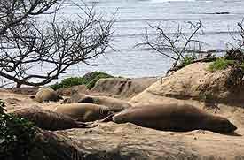 Seals at Ano-Nuevo. photo by Drew Gilligan.