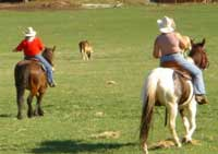 'City slickers' rounding up cattle at the K-Diamond-K Ranch in Republic