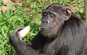 Mmmm, Banana! Lakedi NP, Gabon, is home to a troop of chimps rescued from previous lives as bar entertainment or pets. The troop lives on an island and enjoys the mangoes and bananas provided by the park staff. They're not truly wild, but they don't look too unhappy.