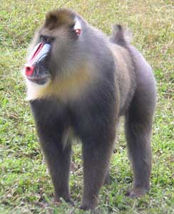 This Mandril with its distinctive and beautiful snout was foul-tempered and aggressive.