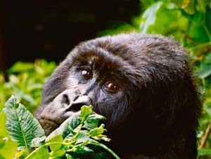 Sadly, mountain gorillas are nearing extinction.