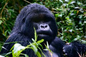 There are about 380 gorillas in Virunga National Park.