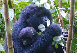 A young gorilla shares its mother's nest until it reaches the age of about three.