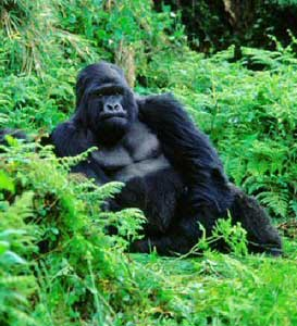 Gorillas and Guerillas in the Democratic Republic of Congo