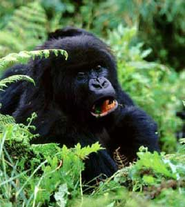 Adult gorillas eat about 60 pounds of vegetation per day.