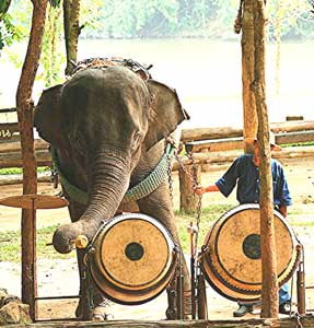 The drummer for the elephant's jazz combo