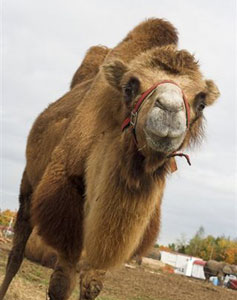 One of the camels in the author's party