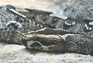 A horned viper