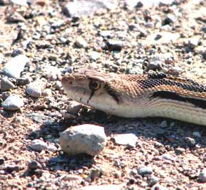 Gophersnake
