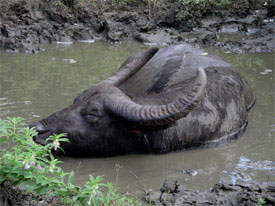 A water buffalo cools itself on Komodo Island.