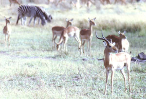 Antelope and zebras