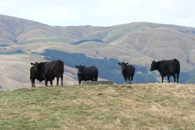 Angus steers graze behind the Villa Margarita, in Pauatahanui.