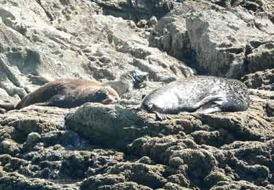 Seals relax on the rocks at Sugar Loaf Marine Park, in New Plymouth