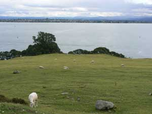 Sheep grazing on Mount Manganui, a sacred place for Maoris in New Zealand.