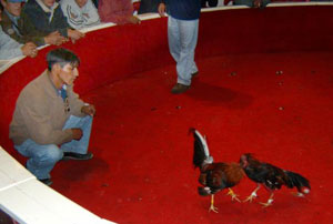 Handlers are allowed to coach their fighting roosters during the match.